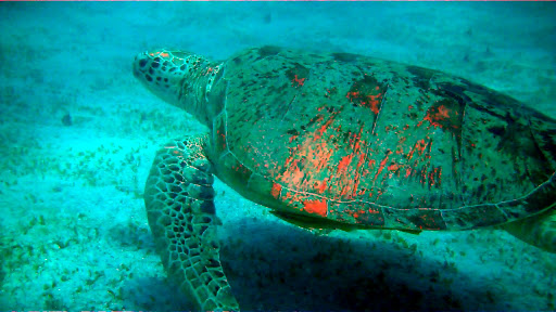 Green Sea Turtle in Perhentian Islands. Credit: trackingtreasure.net